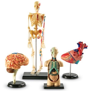 Learning Resources LER3338 Anatomy Models Bundle S